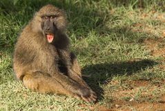 Los babuinos del mono acercan al lago Nakuru en Kenia Fotografía de archivo