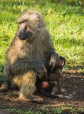 Los babuinos del mono acercan al lago Nakuru en Kenia Imágenes de archivo libres de regalías