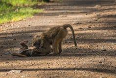 Los babuinos del mono acercan al lago Nakuru en Kenia Fotos de archivo libres de regalías