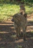 Los babuinos del mono acercan al lago Nakuru en Kenia Fotos de archivo