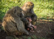 Los babuinos del mono acercan al lago Nakuru en Kenia Foto de archivo