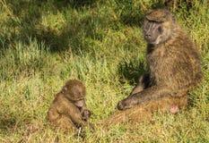 Los babuinos del mono acercan al lago Nakuru en Kenia Imagenes de archivo