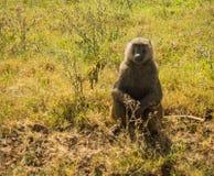 Los babuinos del mono acercan al lago Nakuru en Kenia Fotografía de archivo libre de regalías