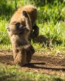 Los babuinos del mono acercan al lago Nakuru en Kenia Imagen de archivo