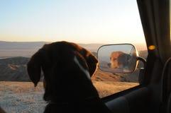Los beagles miran hacia fuera la ventana Imagenes de archivo