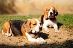 Los beagles toman el sol en la yarda y buscar algo. Foto de archivo libre de regalías