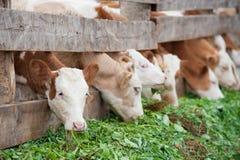 Los becerros de la granja comen la hierba verde Imagen de archivo libre de regalías