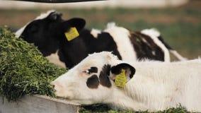 Los becerros jovenes comen la comida verde en granja almacen de video