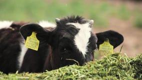 Los becerros jovenes comen la comida verde en granja almacen de metraje de vídeo
