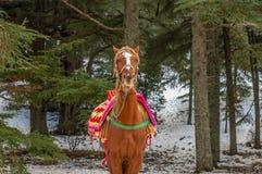 Los berbers del caballo se cierran para arriba Foto de archivo