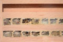 Los bicornis salvajes de Osmia de la abeja intentan salir de su jerarquía en insecto de ella Imagenes de archivo