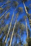 Los birchs contra un fondo del cielo. Imagen de archivo libre de regalías