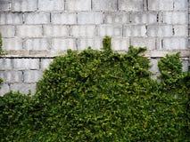 Los bloques grandes de las paredes de ladrillo viejas de velcro se chiban aferrarse en el wal Imagen de archivo libre de regalías