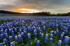 Los Bluebonnets hermosos colocan en la puesta del sol cerca de Austin, TX Imagen de archivo
