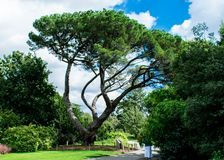 Los bonsais les gusta el árbol Foto de archivo