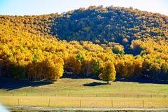 Los bosques amarillos en el prado Imagen de archivo libre de regalías