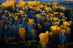 Los bosques del abedul blanco durante la salida del sol Fotos de archivo