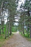 Los bosques del pino Imagen de archivo libre de regalías