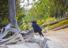 Los brachyrhynchos del Corvus de los cuervos americanos son un pájaro de la familia del cuervo imagen de archivo libre de regalías