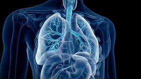 Los bronquios humanos ilustración del vector