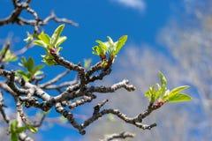 Los brotes blandos comienzan a florecer como tiempo de la primavera traen la sol y los cielos azules imagen de archivo libre de regalías