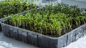 Los brotes de almácigos crecen Crecer-imagen orgánica de la planta fotos de archivo