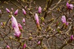 Los brotes de flor del budsThe de la flor Fotografía de archivo libre de regalías