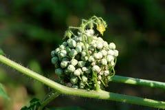 Los brotes de flor del pepino en el tronco verde grueso que crece sobre el umbel cerrado de la cebolla florecen imágenes de archivo libres de regalías