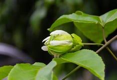 Los brotes de la fruta de la pasión en la vid fotografía de archivo libre de regalías