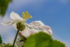 Los brotes de la manzana florecen con gotas de lluvia en el primer de los pétalos contra la perspectiva de las hojas y del cielo  Imágenes de archivo libres de regalías
