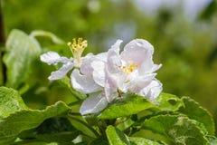 Los brotes de la manzana florecen con gotas de lluvia en el primer de los pétalos contra la perspectiva de las hojas y del cielo  Imagenes de archivo