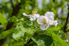 Los brotes de la manzana florecen con gotas de lluvia en el primer de los pétalos contra la perspectiva de las hojas y del cielo  Fotografía de archivo libre de regalías