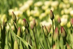 Los brotes de tulipanes en luz del sol brillante Foto de archivo