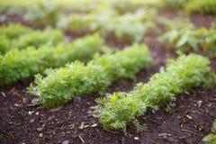 Los brotes de zanahorias jovenes crecen en una cama del jardín imagenes de archivo