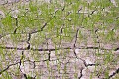 Los brotes del arroz en la tierra se secan. Imagen de archivo libre de regalías