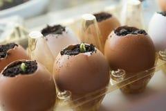 Los brotes del pepino crecen en la cáscara de huevo en el alféizar Imágenes de archivo libres de regalías