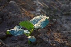 Los brotes del pepino en el campo y el granjero lo están regando; almácigos en el jardín del granjero Opini?n del primer fotos de archivo