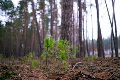 Los brotes del pino hacen su manera al sol entre las agujas caidas fotos de archivo libres de regalías