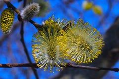 Los brotes del sauce florecen en los árboles imágenes de archivo libres de regalías
