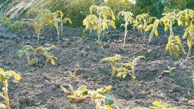 Los brotes del tomate en el jardín se riegan de las mangueras Diversos descensos del agua caen en los almácigos almacen de metraje de vídeo