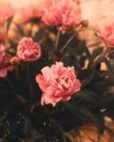 Los brotes despedidos de flores del color rosado Foto de archivo libre de regalías