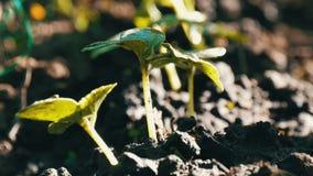 Los brotes jovenes acaban de germinar las plantas del pepino en un cierre del suelo encima de la visión metrajes