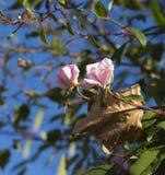 Los brotes minúsculos del Mademoiselle Cecile Brunner palidecen - al amor rosado Rose del polyantha Foto de archivo libre de regalías