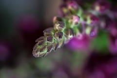 Los brotes púrpuras del jardín del Matthiola florecen macro imagenes de archivo
