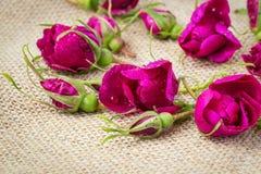 Los brotes rosados de las rosas de té mienten en un fondo ligero Imagenes de archivo