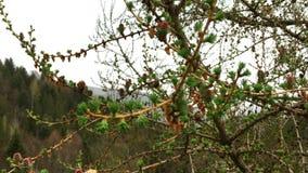 Los brotes y los conos verdes jovenes de árboles coníferos crecen en ramas metrajes