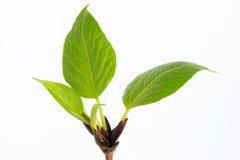 Los brotes y la primavera verde hojea en el álamo de la ramita Imagen de archivo