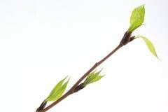 Los brotes y las hojas de la primavera en el álamo de la ramita Fotos de archivo libres de regalías