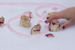 Los brotes y los pétalos son rosas blancas y rojas Fotos de archivo libres de regalías