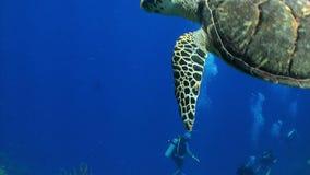 Los buceadores miran la tortuga de mar grande nadar lejos